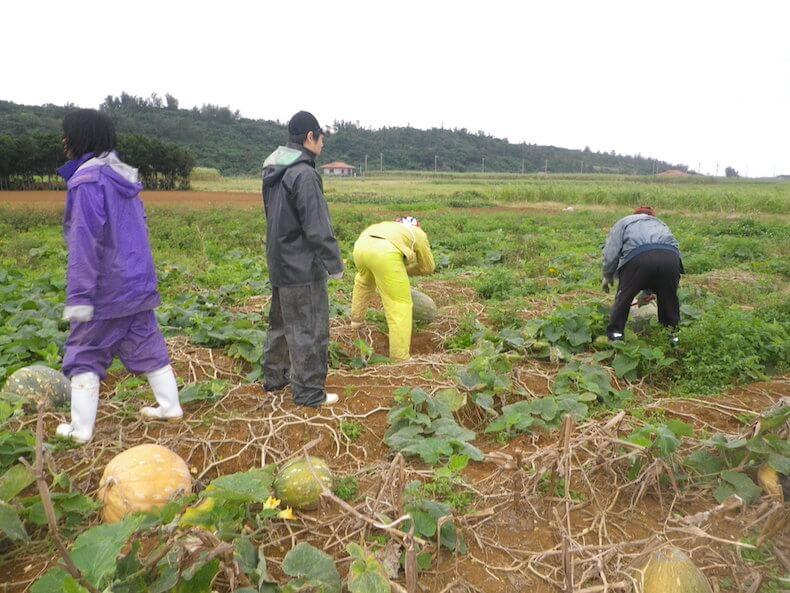 宮古島,沖縄,サトウキビ,農業,仕事
