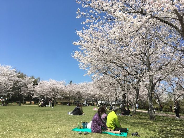鹿児島,桜,桜百景,日本文化,高岡公園