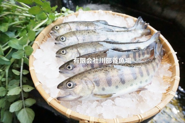 川部養魚,南阿蘇,ヤマメ,ポケマル